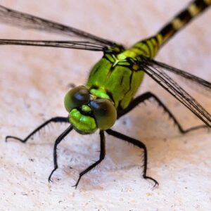 Read more about the article Lessons from Nature 2:  Misplaced Fear – The Dragonfly