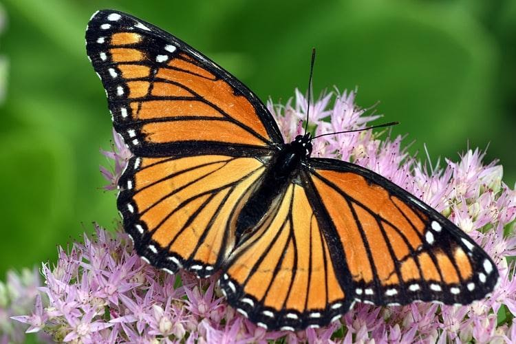 Read more about the article Lessons from Nature 4:  Complete Transformation – The Monarch Butterfly