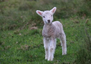 Read more about the article Lessons from Nature 7:  The Lamb of God (Sunday Selah)
